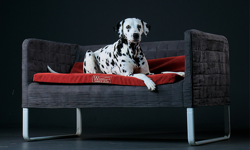 dalmatian on couch